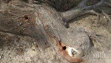 Вандали дупчат дървета в Кюстендил, наливат в тях нафта