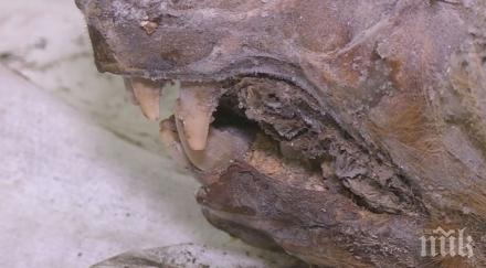 УНИКАЛНА НАХОДКА: Откриха напълно запазена гигантска вълча глава на 40 хил. години (СЕНЗАЦИОННО ВИДЕО/СНИМКИ)