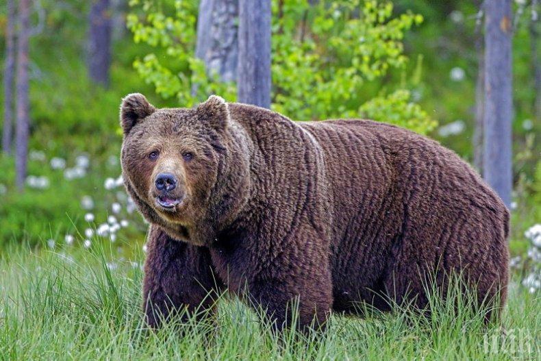 Бракониери застреляха млада мечка в Рила