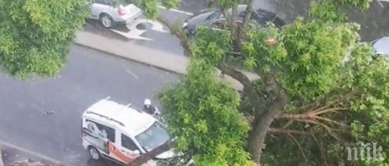 Дърво падна върху кола във Варна