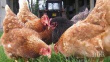 Глобиха фирма заради нехуманно отношение към кокошки