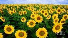 ЧУДО ЗА БЪБРЕЦИТЕ: Ето как помага слънчогледът
