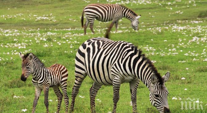Учени откриха за какво служат райетата на зебрите