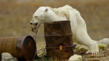 ШОК: Гладна мечка броди в Норилск (ВИДЕО)