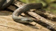 Бум на ухапвания от змии в началото на лятото