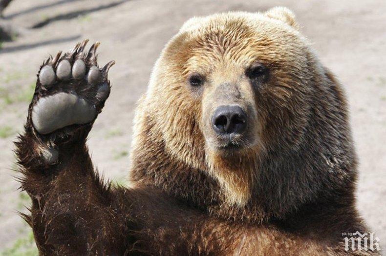 Сръбска мечка плаши Белоградчик