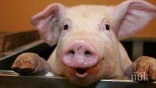 МЕРКИ: Убиха 36 прасета заради африканската чума в Плевенско