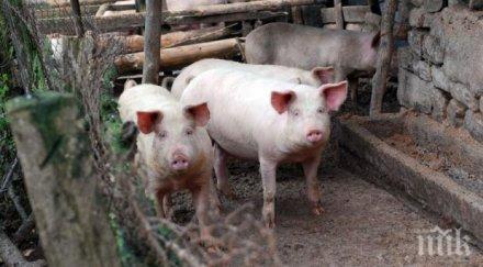 ДОБРА НОВИНА: Няма данни за нови огнища на африканска чума по свинете