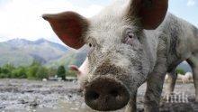АФРИКАНСКАТА ЧУМА: Започна евтаназирането на домашни свине в Бургаско