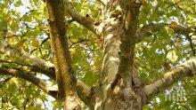 В АЗЕРБАЙДЖАН: Клон от вековен чинар помля 19 туристи