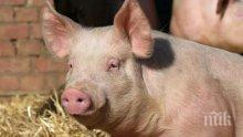 Стряскащо: Във Великобритания откриха заразено месо с Африканска чума по свинете