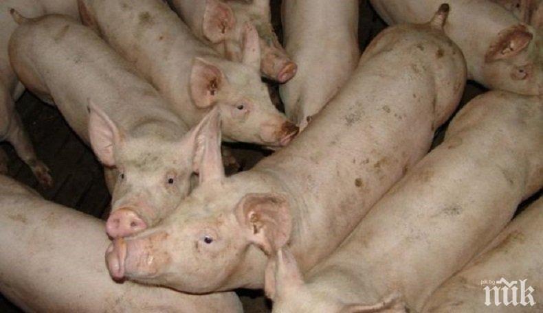САМО КРАЙ РУСЕ: 165 прасета избити заради африканската чума