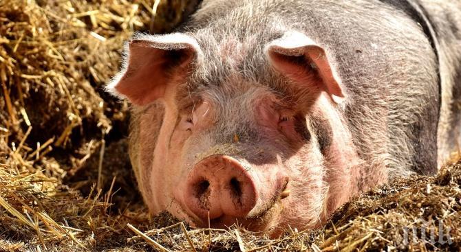 Чумата по свинете стигна до Враца