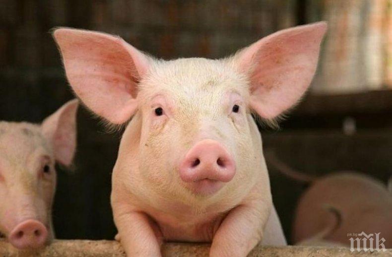 Смолянско със спешни мерки срещу чумата по свинете