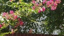 Розов гълъб шашна пловдивчани
