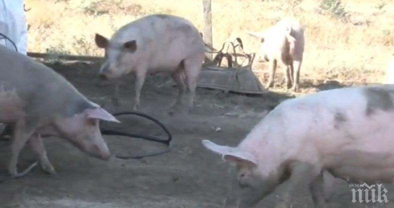 Ново огнище на африканска чума по свинете в Русенско