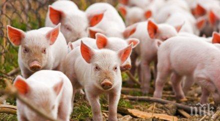 ИЗВЪНРЕДНО В ПИК TV! ГЕРБ отговори на атаките на БСП заради чумата по свинете (ОБНОВЕНА)