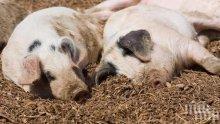 Африканска чума покоси още една свинферма в област Силистра