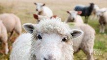ЗАРАЗА: Откриха антракс по овцете в Северна Македония