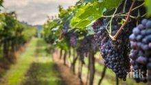 Лоша прогноза: Лозарите в Централна Северна България не очакват добра година