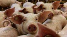 Срокът за унищожаване на прасетата в Южна България изтече, тръгват проверки