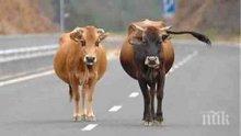 Изготвени са указания към земеделските стопани, които доказват реализация на животни по схемите за обвързано подпомагане