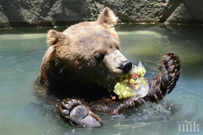 КЕФ В ЖЕГАТА: Мечките от зоопарка в Добрич минаха на сладолед