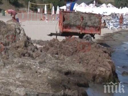 В Сарафово връщат обратно в морето изхвърлени водорасли