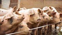 Колят 200 прасета в Кресна и селата наоколо заради чумата, срокът - до неделя