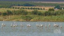 Атанасовското езеро бъка от розово фламинго