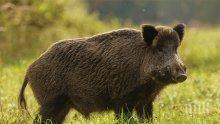 Спират дърводобива и лова около Велинград заради свинската чума