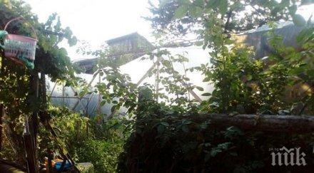 МВР с нов удар: Разбиха наркооранжерия в Костандово (СНИМКИ)