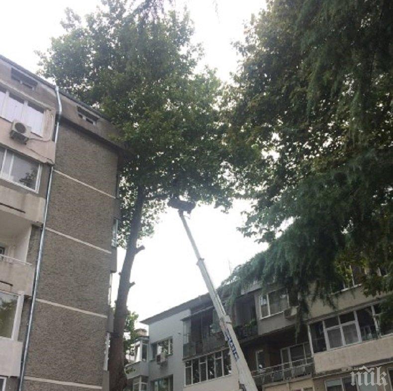 ДИВАЩИНА: Във Варна осакатиха две 50-годишни дървета