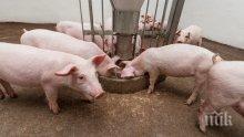 РЕШЕНО: Ето кога държавата започва да брои по 300 лв. за прасета в задния двор