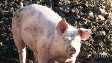 СТРОЙ СЕ, ПРЕБРОЙ СЕ: 177 прасета още щъкат живи и здрави в Сливенско, глобяват собствениците