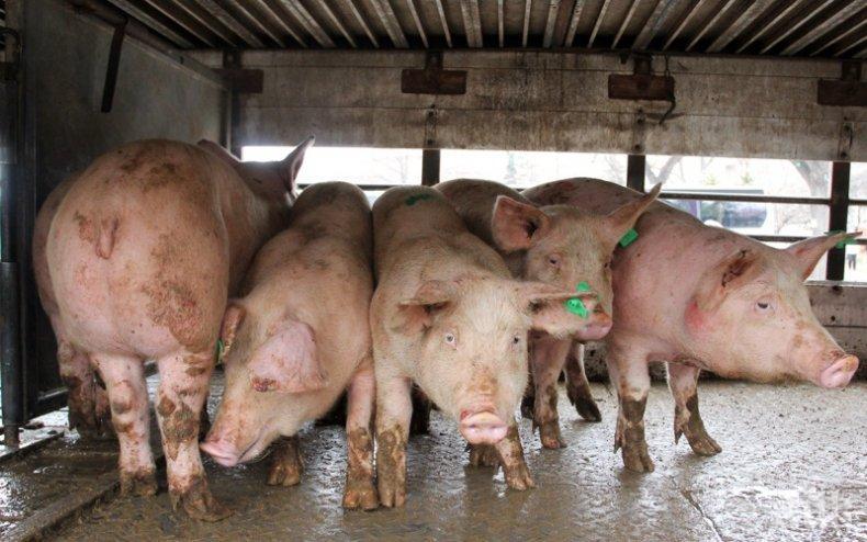 Ограничиха чумата по свинете в Смолянско