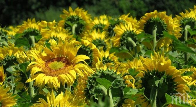 ШАХ С ПЕШКАТА: Кой обра слънчогледа край Балчик