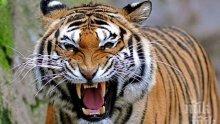 ДИВОТО ЗОВЕ: Тигър нападна двегодишно дете Тайланд