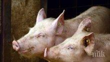Започва изплащането на помощите на стопанства, доброволно умъртвили прасетата си заради африканската чума