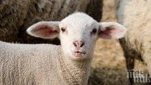 Стадо от 67 овце и кози задигнаха край Добрич