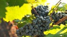 Започва гроздоберът в Сунгурларе