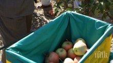 Сватбари зарадваха мечките в Белица с ябълки