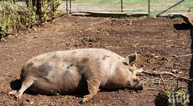Над 90 000 прасета в Русенско са умъртвени заради чумата