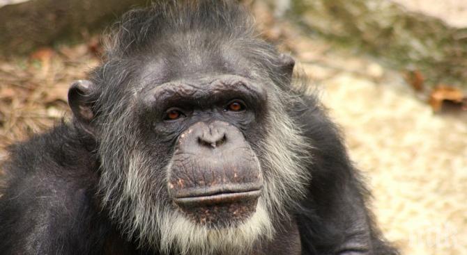 Пощуряло шимпанзе вдигна на крак полиция и ветеринари в Тексас