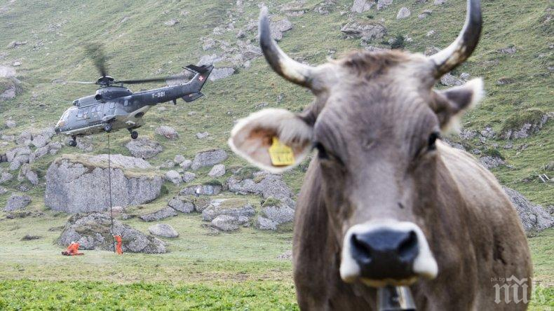 НЕ Е ЗАРАЗА: Студена вода убила в жегите стадо крави край Дупница