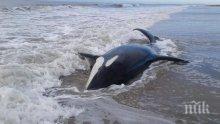 Морето край Аржентина изхвърли седем косатки