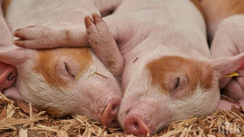 Изклаха стотици свине в Япония заради епидемия
