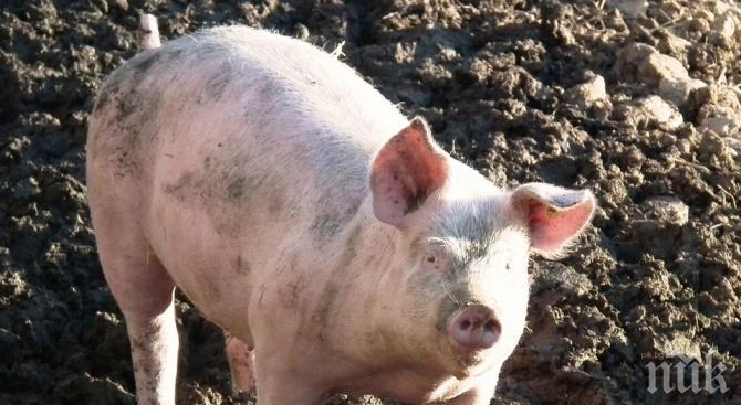 В две села в Русенско скрили прасетата от задния двор
