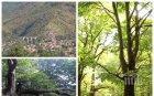 Безнаказано: Безразборно изсичат вековна букова гора край Буново