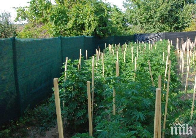 Откриха канабис в двор в село във Врачанско